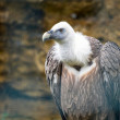 Stock Photo: Griffon vulture (Gyps fulvus)