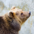 Brown bear in the zoo — Stock Photo
