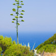 Stock Photo: Blooming Agave sky blue from Rhodes in Greece.