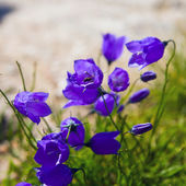 Tiny 'campanula get mee' (or bellflowers) soft floral background. — Stock Photo