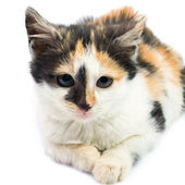 Three-colored kitty — Stock Photo