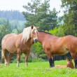 Stock Photo: Horses on pasture