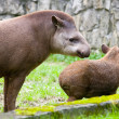 South American Tapir,Tapirus terrestris, anta — Stock Photo