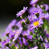 Purple flowers — Stock Photo
