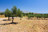 An old olive grove in Rhodes, Greece — Stock Photo