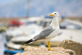 Seagull. Croatia — Stock Photo