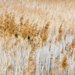 Reed — Stock Photo #21641717