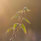 Stinging nettle plant — Stock Photo