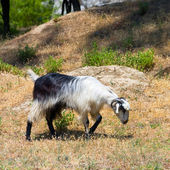 Goat in the wildness Turkish valley — Stock Photo