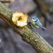 Blue tit on branch — Stock Photo