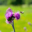 Bee feeding on thistle flower in backlit — Stock Photo #23742365