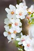 Jabloňové květy na jaře — Stock fotografie