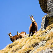 Chamois (Rupicapra Carpatica) in mountain High Tatras, Poland — Stock Photo