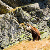 Chamois (Rupicapra Carpatica) in mountain High Tatras, Poland — Stock Photo