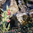Pulmonaria rubra - Stock Photo