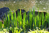 Stones and grass at waters edge — Stock Photo