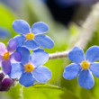 Forget me not — Stock Photo #24844445