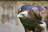 Golden eagle close up — Stock Photo