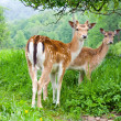 A group of young fallow deer -  
