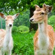 A group of young fallow deer — 图库照片