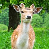 年轻的休闲地鹿 — 图库照片