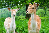 A group of young fallow deer — Stockfoto