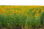 Sunflower field with white sky — Stock Photo