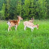 一群年轻的休闲地鹿 — 图库照片