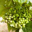 Bunch of grapes on the vine with green leaves  — Stock Photo