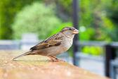 воробей сидит на столе, попрошайничество птица — Стоковое фото