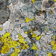 Lichens as background — Photo
