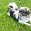 Beautiful pekingese on grass — Stock Photo