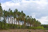 Foresta di pini. polonia — Foto Stock