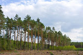 Pine forest. Poland — Stock Photo