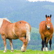 Stock Photo: Horses on a summer pasture