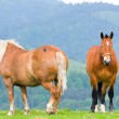 Horses on a summer pasture — Stock Photo #31180553