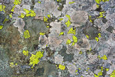 Lichens as background — Stock fotografie
