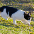 Black and white domestic cat on meadow is sneaking to hunt for food — Stock Photo #36574309