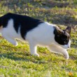 Black and white domestic cat on the meadow is sneaking to hunt for food  — Stock Photo