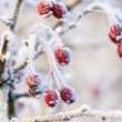 Winter background, red berries on frozen branches covered with hoarfrost — Stock Photo #38206599