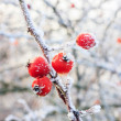 Winter background, red berries on frozen branches covered with hoarfrost — Stock Photo #38206605