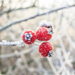 Winter background, red berries on the frozen branches covered with hoarfrost — Stock Photo