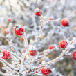 Winter background, red berries on frozen branches covered with hoarfrost — Stock Photo #38206625