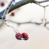 Winter background, red berries on the frozen branches covered with hoarfrost — Foto Stock