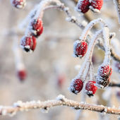 Winter background, red berries on the frozen branches covered with hoarfrost — Stockfoto
