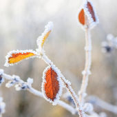 Winter background, hoarfrost on leaves — Stock Photo