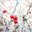 Winter background, red berries on frozen branches covered wi — Stock Photo #39158631