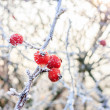 Winter background, red berries on the frozen branches covered wi — Stock Photo #39158631