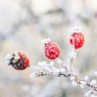 Winter background, red berries on the frozen branches covered wi — Stock Photo