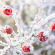 Winter background, red berries on the frozen branches covered wi — Stock Photo #39158661